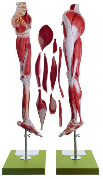 Muskelbein mit Beckenansatz