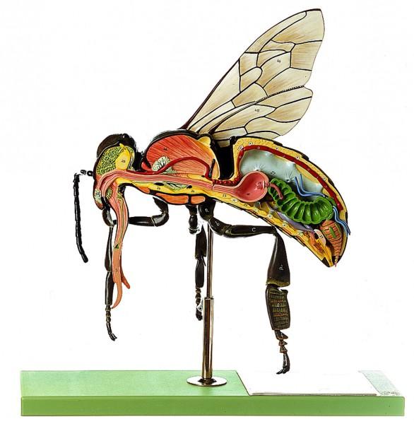 Modell der Arbeitsbiene, Somso Modell