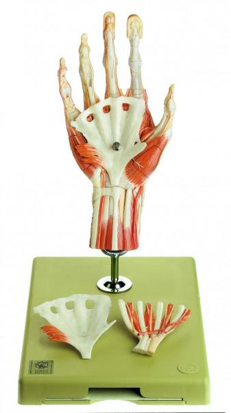 Chirurgisches Handmodell