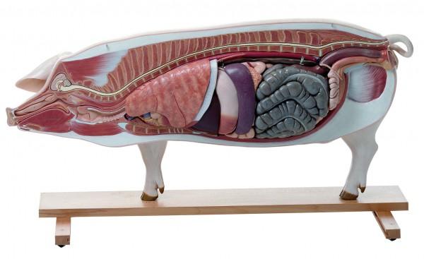 Modell eines Zuchtschweines (Muttertier)
