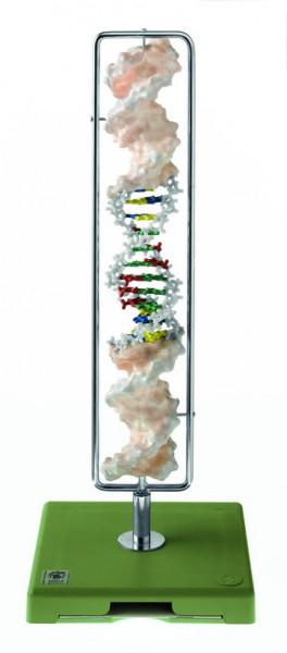 DNA-Doppelhelix (Typ B-DNA)