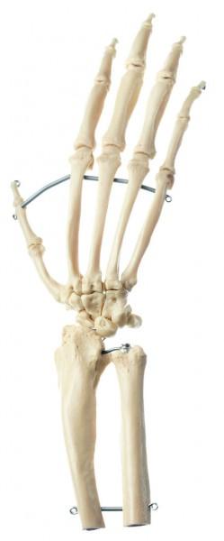 Künstliches Schimpansen-Hand-Skelett