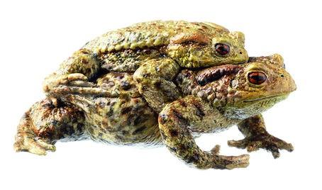 Erdkröte - Paar im Amplexus