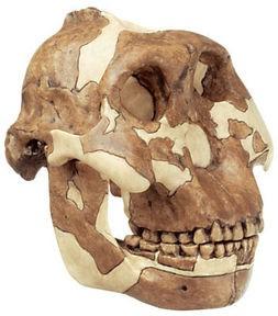 Schädelrekonstruktion von Paranthropus boisei