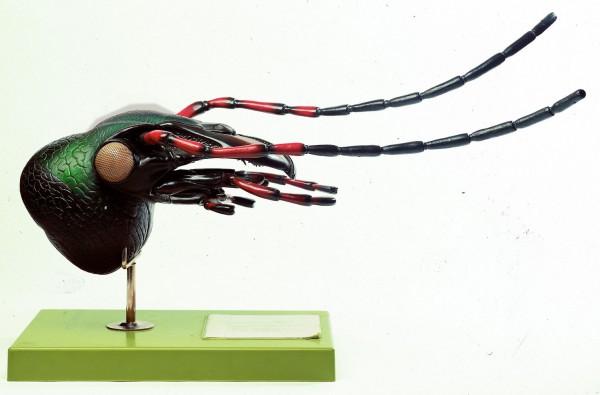 Käferkopf