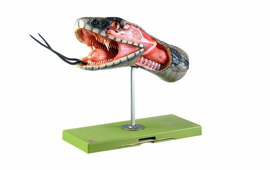 Anatomie des Schlangenkopfes, Somso Modell