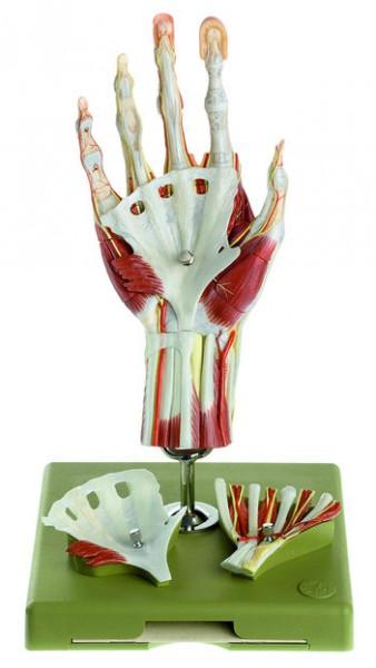 Chirurgisches Handmodell in didaktischer Bemalung
