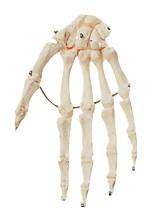 Handknochen, montiert