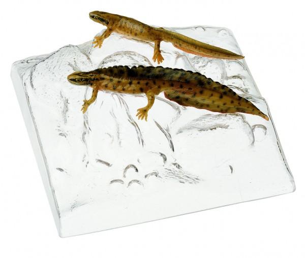 Teichmolch, Männchen und Weibchen in Wassertracht