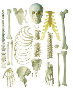 Unmontiertes halbes Homo-Skelett