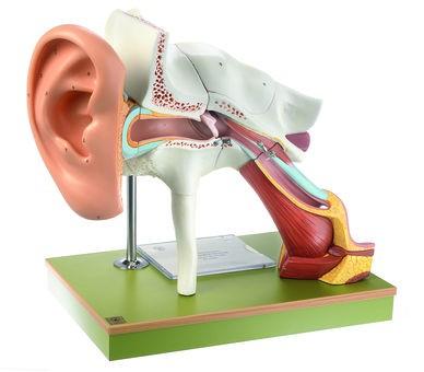 Gehörorgan mit Ohrmuschel