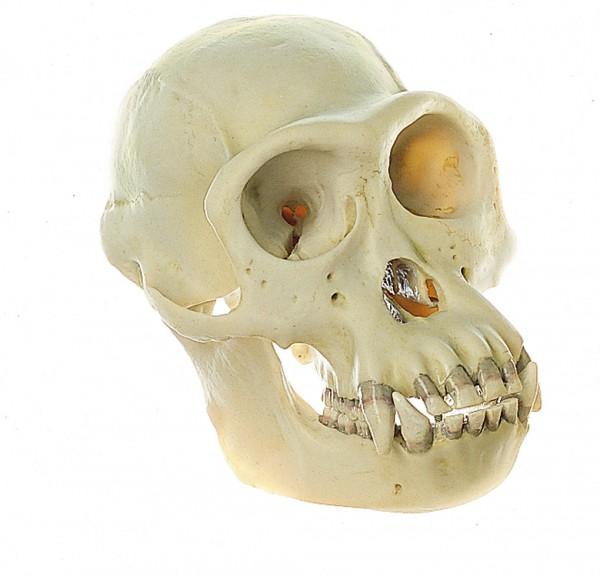 Schimpansen-Schädel