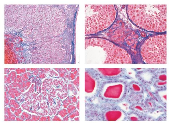 Serie IV. Hormone, Hormonfunktion, 7 Mikropräparate