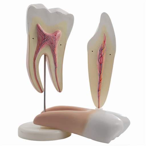 2 zerlegbare Zahnmodelle