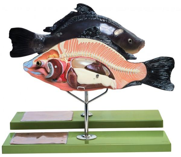 Anatomie eines Knochenfisches