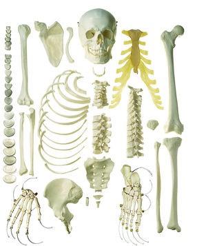 Unmontiertes Halbes Homo-Skelett, männl.