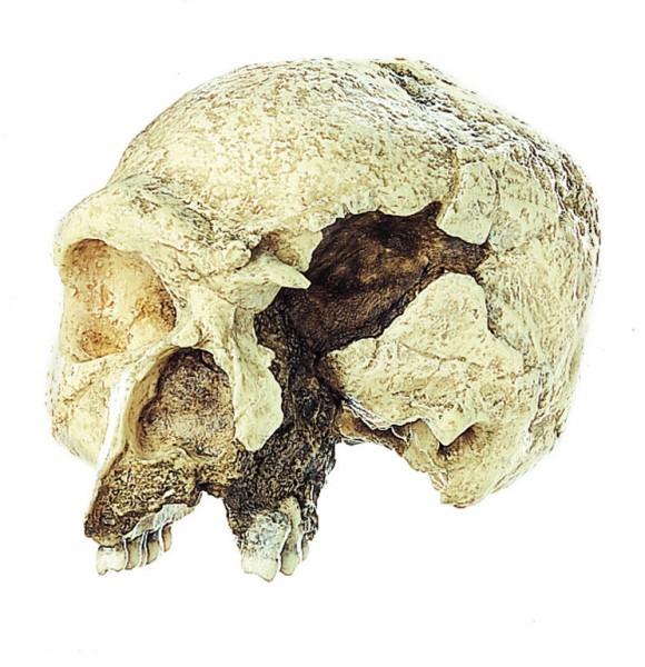Schädelrekonstruktion von Homo heidelbergensis