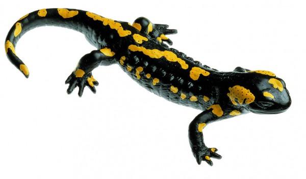 Gefleckter Feuersalamander, Männchen