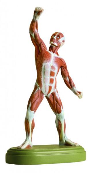 Muskelfigur