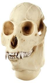 Brüllaffen-Schädel