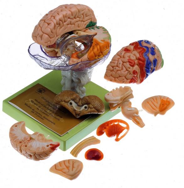 15-teiliges Gehirnmodell mit farbiger Markierung der Rindenfelder