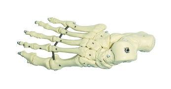 Fuss-Skelett (elastische Montage)