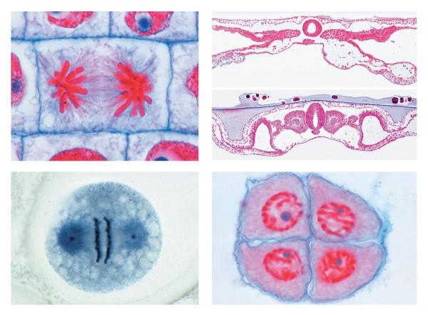 Serie V. Genetik, Fortpflanzung und Entwicklung, 19 Mikropräparate