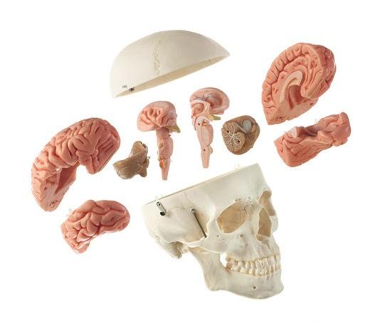 Künstl. männlicher Homo-Schädel mit 8teiligen Gehirn