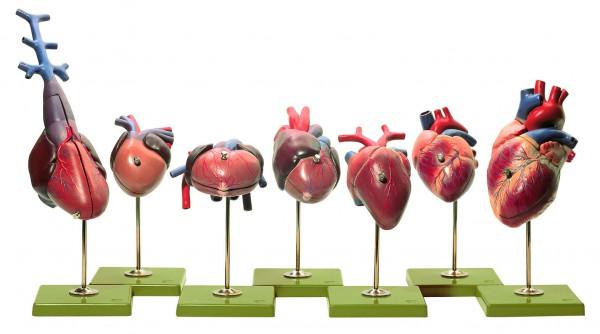 Herzmodelle von Wirbeltieren