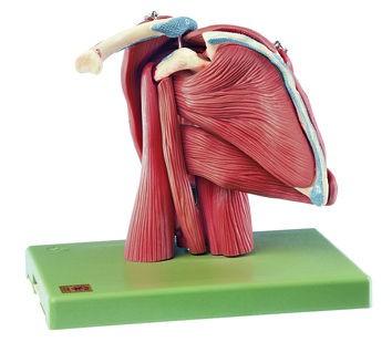 Demonstrationsmodell der Schultermuskulatur