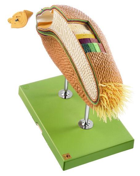 Modell eines Weizenkorns als Beispiel für eine Karyopse