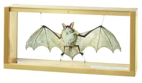 Grosses Mausohr, Männchen, Myotis myotis