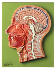 Medianschnitt des Kopfes