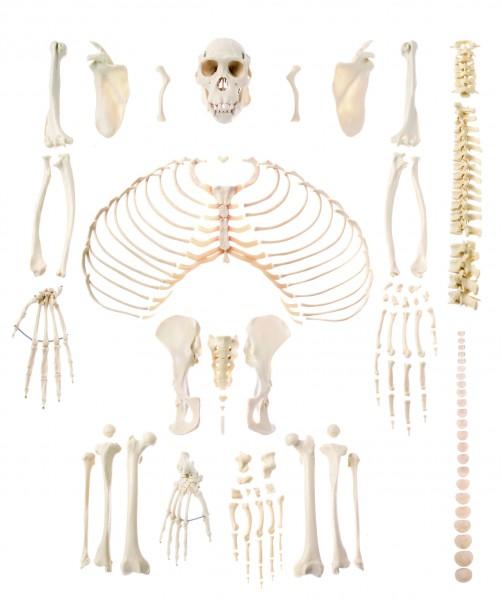 Künstliches Schimpansenskelett