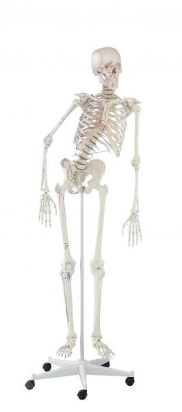 bewegliches Skelett mit Muskelmarkierungen