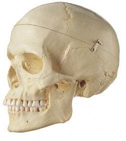 Künstlicher Homo-Schädel, weiblich