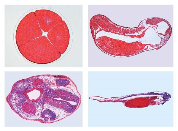 Entwicklung des Froschembryos (Rana sp.), 10 Mikropräparate