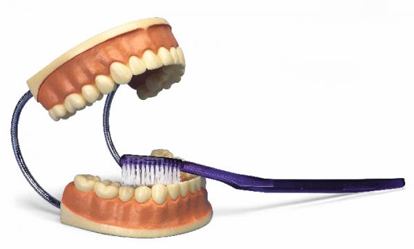 Zahnpflegemodell mit Bürste